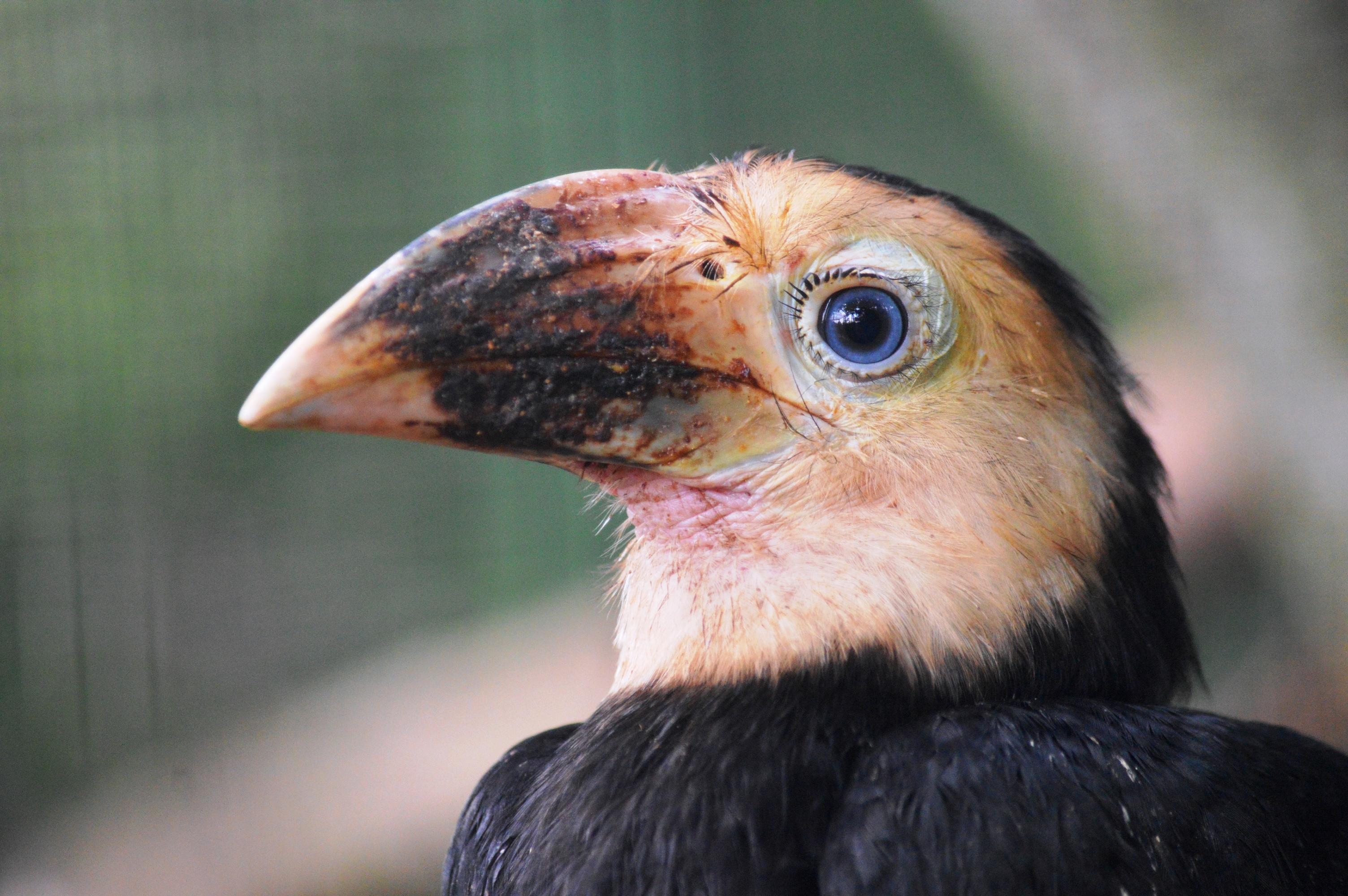 velké černé ptáky v asijských kuřat